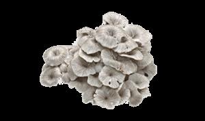Экстракт гриба полипорус умбеллатус